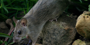 Rodent (Rats) Pest Control in Mumbai - Pepstoppestcontrol com